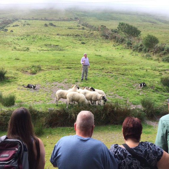 Kells sheepdogs